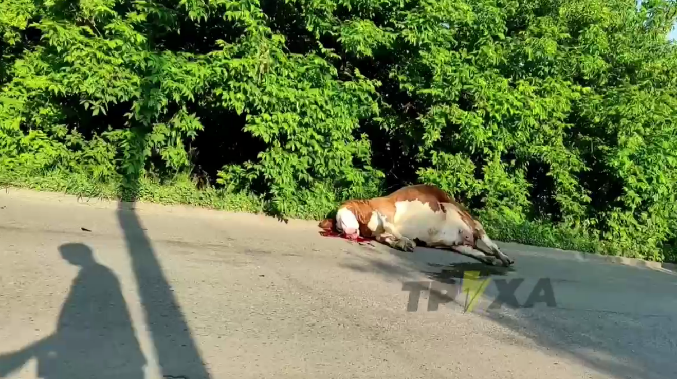 У Чугуєві автомобіль збив корову (ВІДЕО)